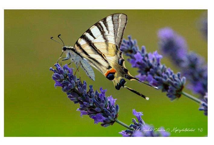 "LA FARFALLA MACAONE ""Papilio machaon"""